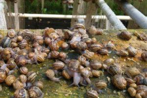 Розведення равликів. Покроковий помічник