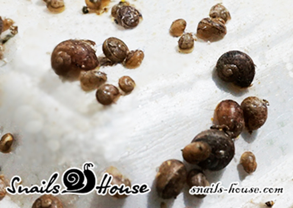 Helix Aspersa Maxima Baby Snails