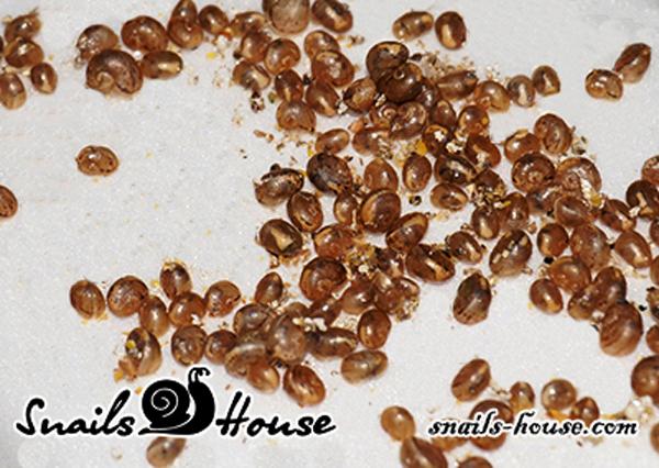Helix Aspersa Muller Baby Snails