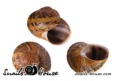 Helix Aspersa Muller Shells