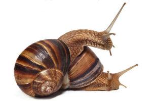 Особливості равликів Лукорум