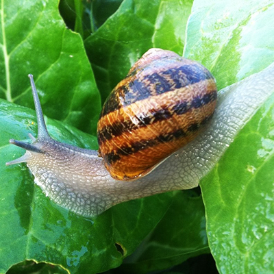 Чи різниться харчування равликів Helix aspersa Maxima і Müller