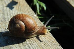 Способи розведення равликів Helix aspersa Maxima і Helix aspersa Müller
