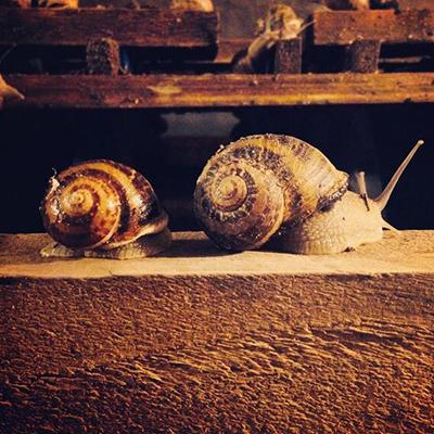 Відмінності життєдіяльності равликів Helix aspersa Maxima і Helix aspersa Muller